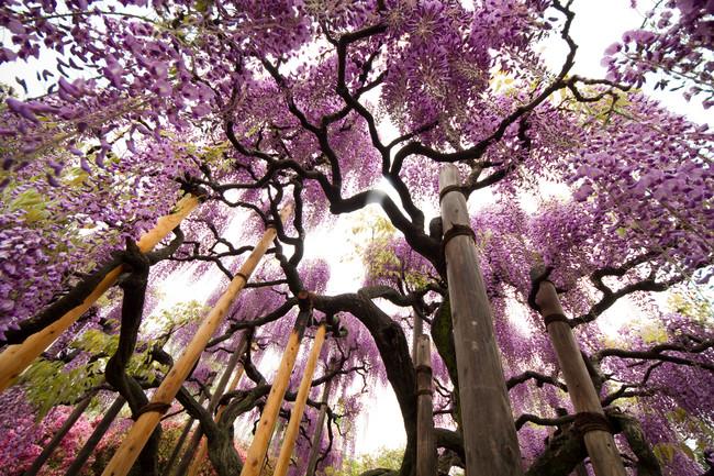 Ashikaga Flower Park, Tochigi Prefecture, Japan