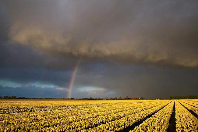 Tulip Fields, Holland, Netherlands
