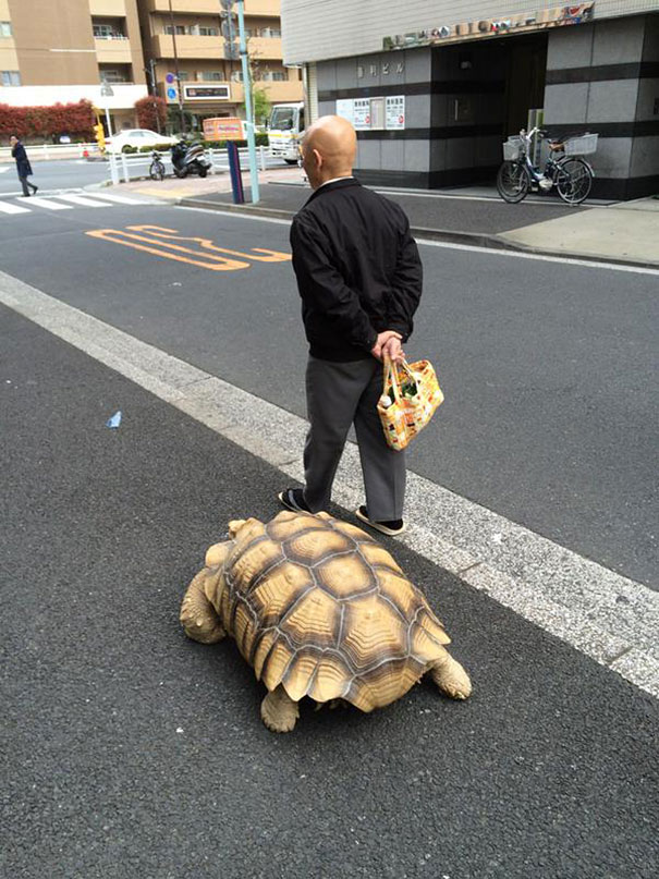 Most-Patient-Pet-Owner-walking-pet-african-spurred-tortoise-sulcata-1