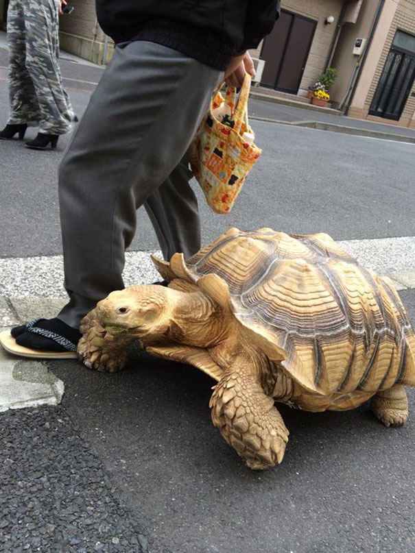 Most-Patient-Pet-Owner-walking-pet-african-spurred-tortoise-sulcata-2