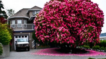 "125-Year-Old-Rhododendron-""Tree""-In-Canada"