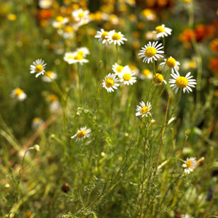 Foods-For-Living-Longer-Chamomile