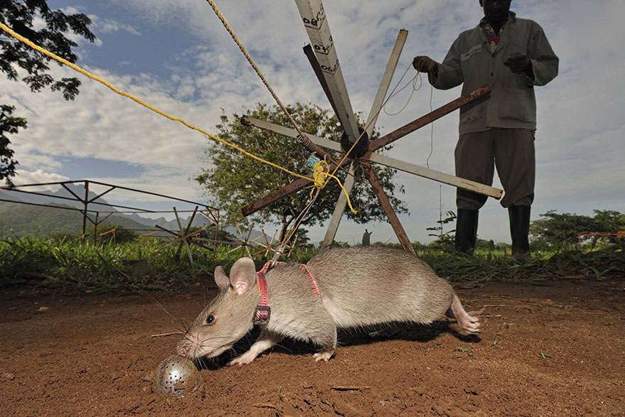 Heroic-Rats-Sniff-Out-Landmines-In-Africa (1)