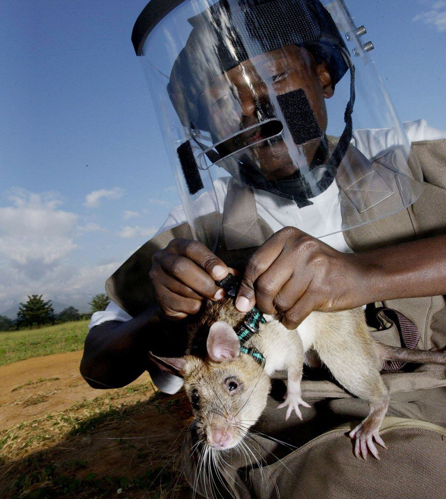 Heroic-Rats-Sniff-Out-Landmines-In-Africa (10)