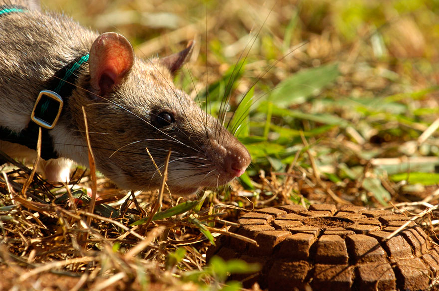 Heroic-Rats-Sniff-Out-Landmines-In-Africa (11)