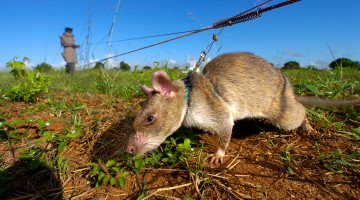 Heroic-Rats-Sniff-Out-Landmines-In-Africa