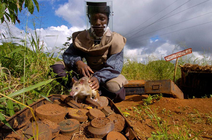 Heroic-Rats-Sniff-Out-Landmines-In-Africa (2)