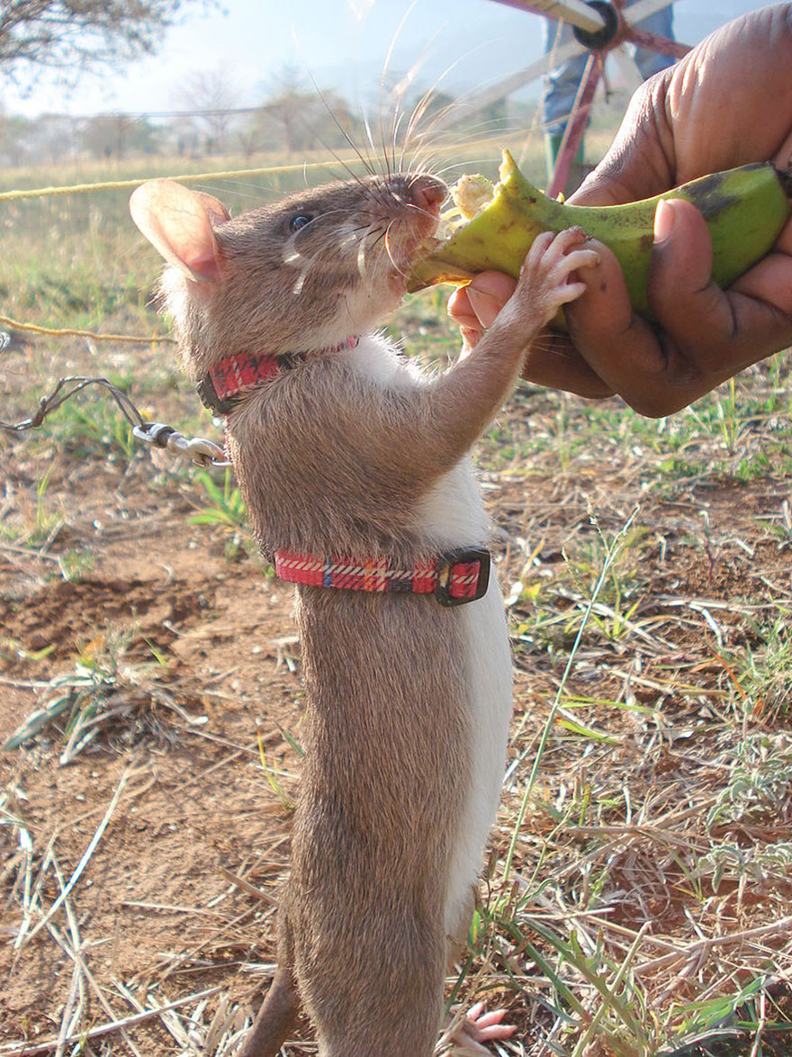 Heroic-Rats-Sniff-Out-Landmines-In-Africa (3)