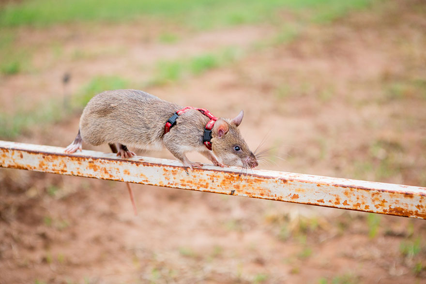 Heroic-Rats-Sniff-Out-Landmines-In-Africa (5)