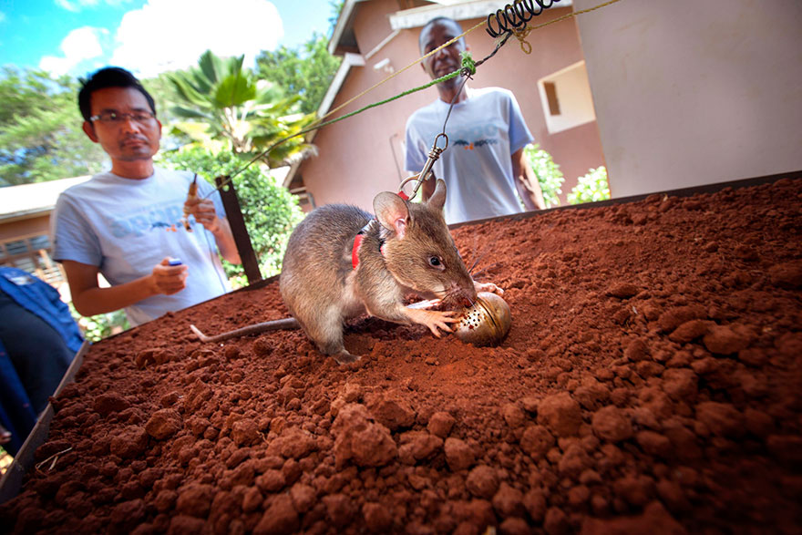 Heroic-Rats-Sniff-Out-Landmines-In-Africa (6)