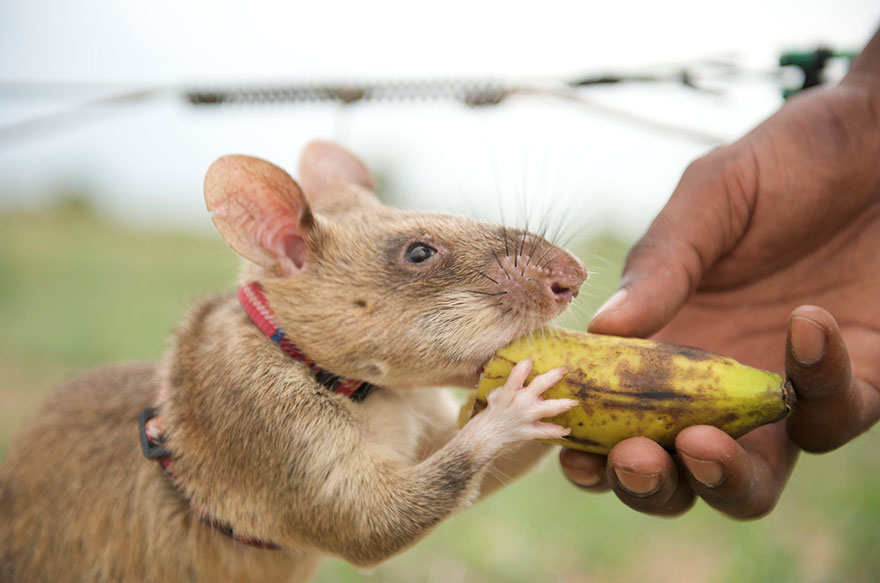 Heroic-Rats-Sniff-Out-Landmines-In-Africa (7)