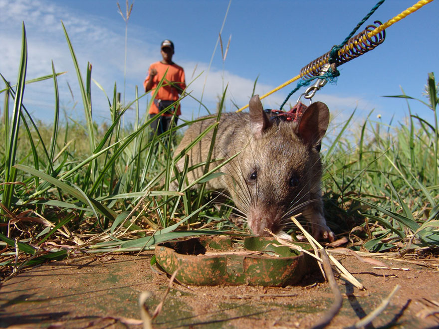Heroic-Rats-Sniff-Out-Landmines-In-Africa (8)