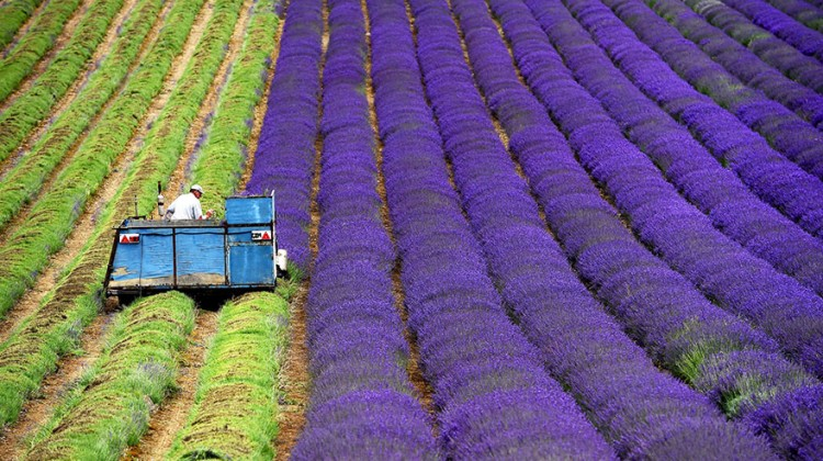 lavender-fields-harvesting- Hypnotizing-Beauty