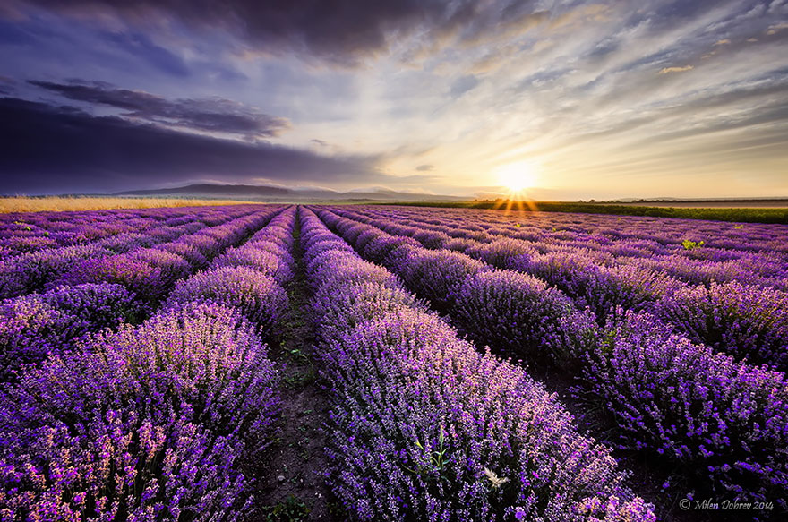 lavender-fields-harvesting- Hypnotizing-Beauty-2