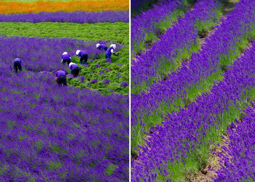 lavender-fields-harvesting- Hypnotizing-Beauty-3