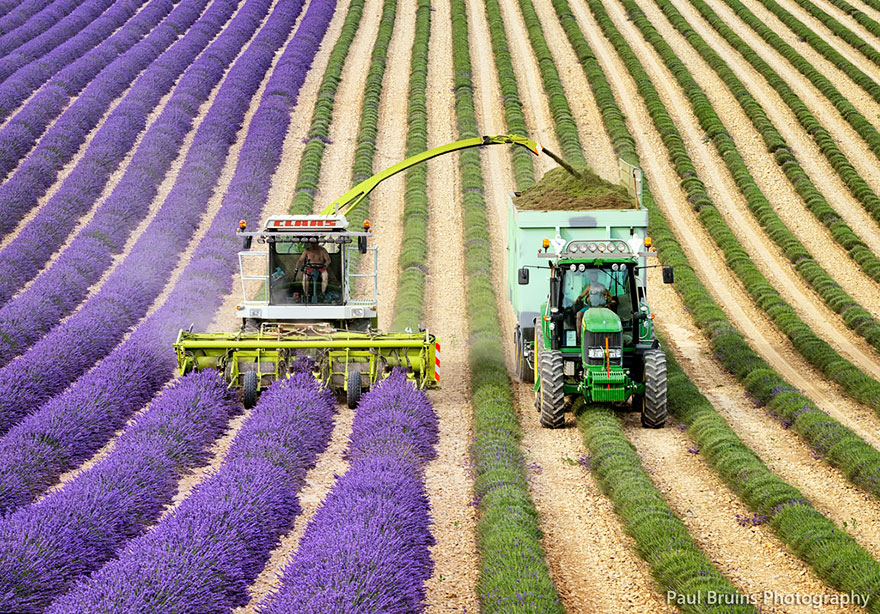 lavender-fields-harvesting- Hypnotizing-Beauty-4