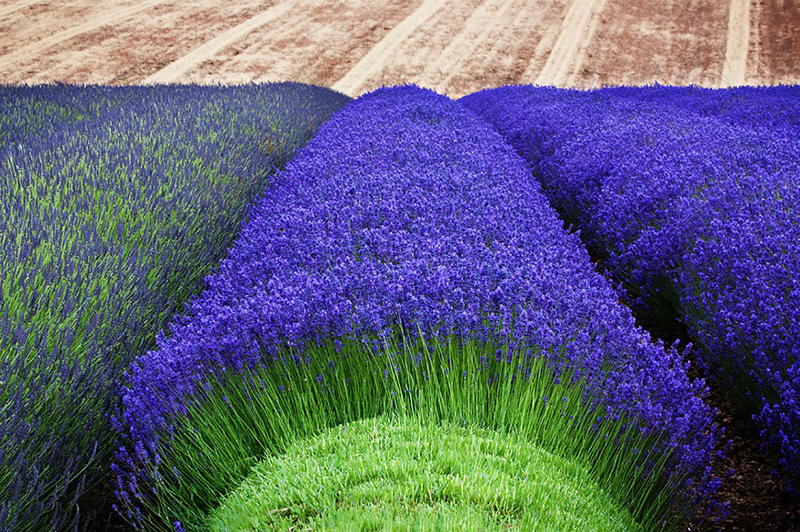 lavender-fields-harvesting- Hypnotizing-Beauty-5