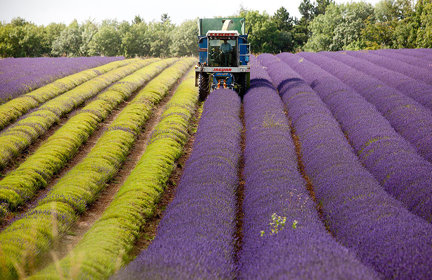 lavender-fields-harvesting- Hypnotizing-Beauty-7