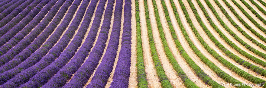 lavender-fields-harvesting- Hypnotizing-Beauty-8