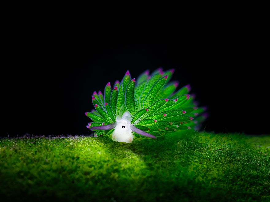 leaf-sheep-sea-slug-costasiella-kuroshimae-Eats-Algae-Photosynthesize