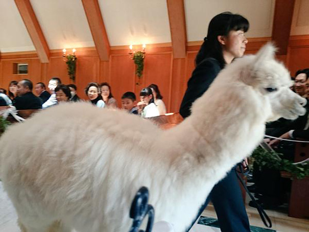 wedding-alpaca-witness-Epinard-Nasu-Hall-japan-2