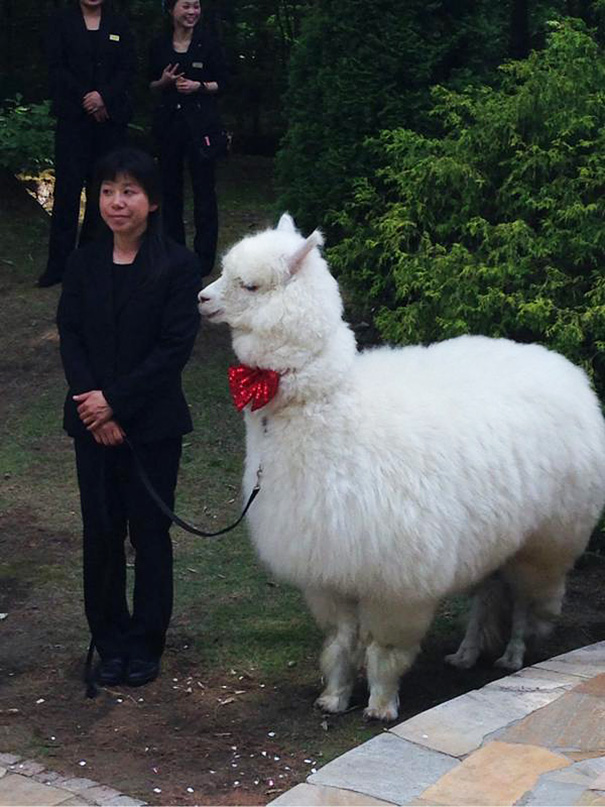 wedding-alpaca-witness-Epinard-Nasu-Hall-japan-6