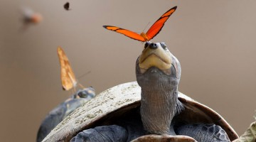 Butterflies-Drinking-Tears-Turtle-Alligator-Eye-lachryphagy-tear-feeding