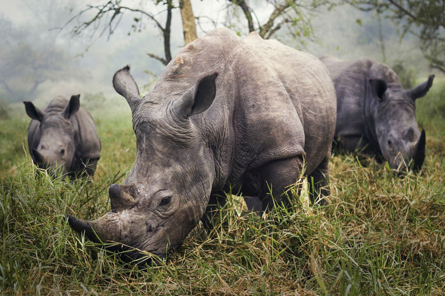 Winners-Of-The-2015-National-Geographic-Traveler-Photo-Contest- White-Rhinos