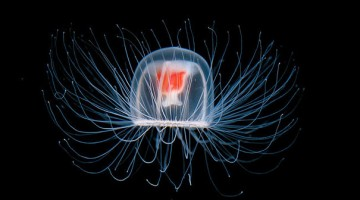 immortal-jellyfish-turritopsis-nutricula-transdifferentiation