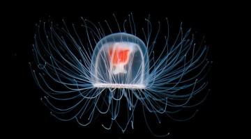immortal-jellyfish-turritopsis-nutricula-transdifferentiation