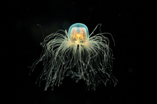 immortal-jellyfish-turritopsis-nutricula-transdifferentiation-2