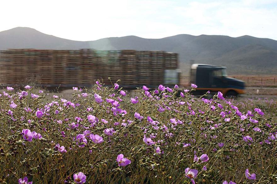 rain-fall-atacama-flowers-bloom-worlds-driest-desert (1)