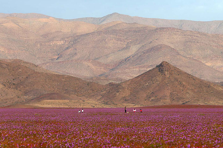 rain-fall-atacama-flowers-bloom-worlds-driest-desert (3)