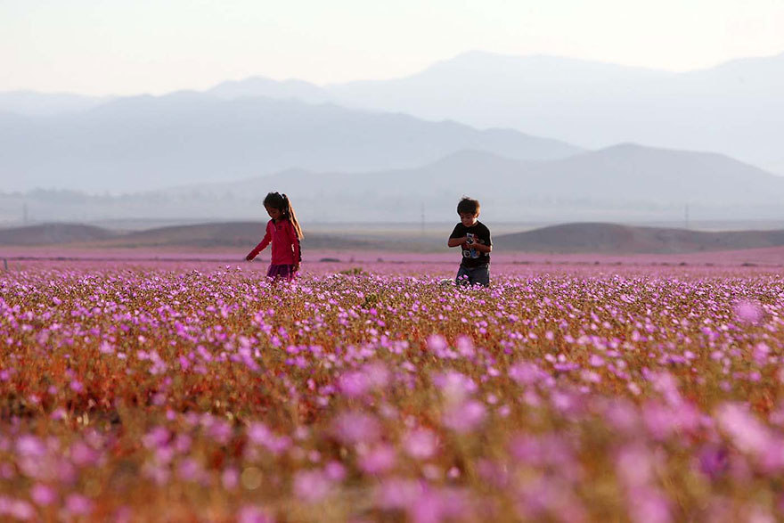 rain-fall-atacama-flowers-bloom-worlds-driest-desert (4)
