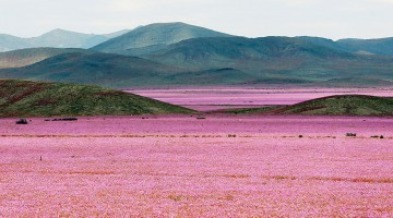 rain-fall-atacama-flowers-bloom-worlds-driest-desert