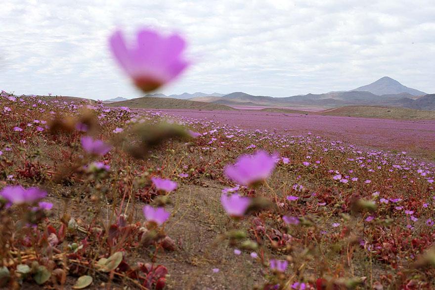 rain-fall-atacama-flowers-bloom-worlds-driest-desert (6)