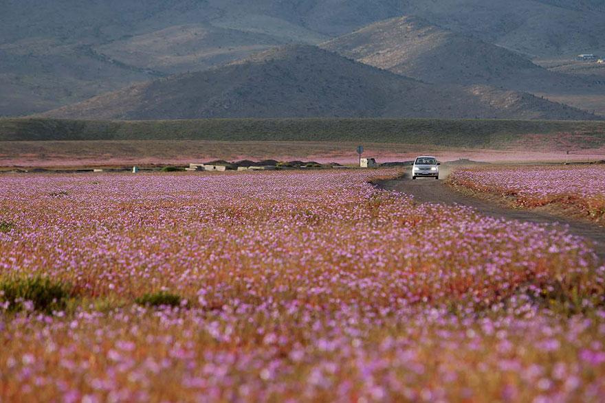 rain-fall-atacama-flowers-bloom-worlds-driest-desert (7)