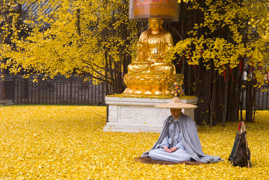 1400-old-ginkgo-tree-yellow-leaves-gu-guanyin-buddhist-temple-china (1)