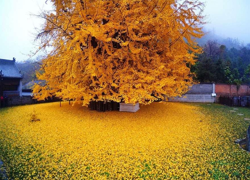 old-ginkgo-tree-yellow-leaves-gu-guanyin-buddhist-temple-china