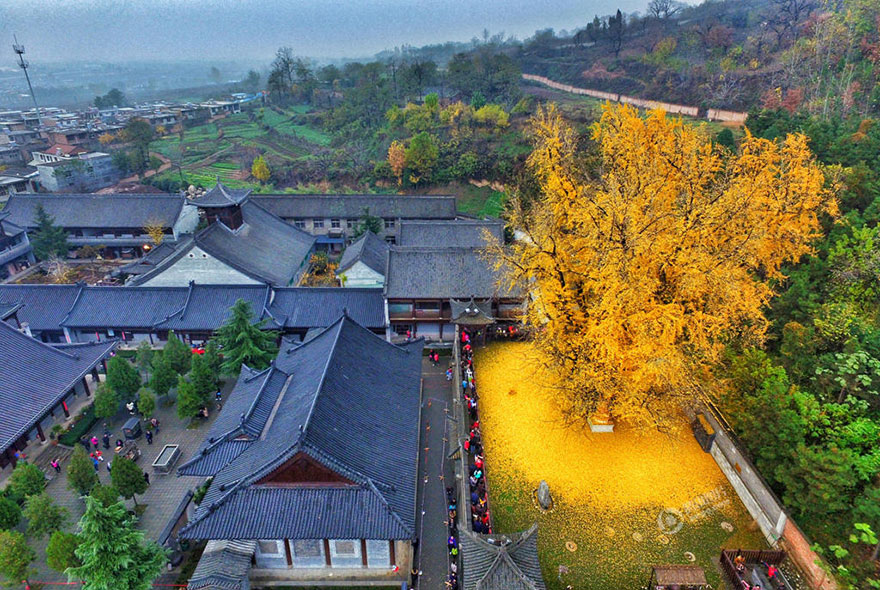 1400-old-ginkgo-tree-yellow-leaves-gu-guanyin-buddhist-temple-china (3)