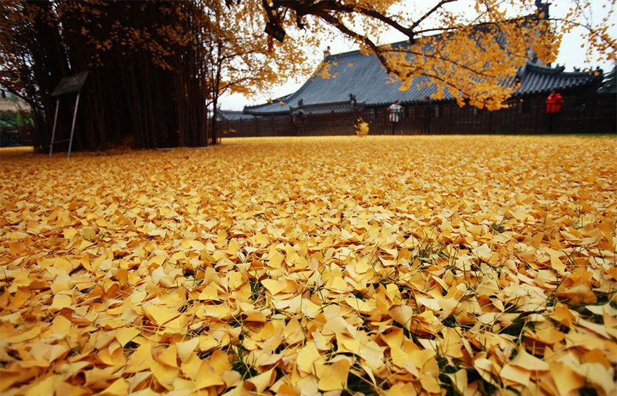 1400-old-ginkgo-tree-yellow-leaves-gu-guanyin-buddhist-temple-china (4)
