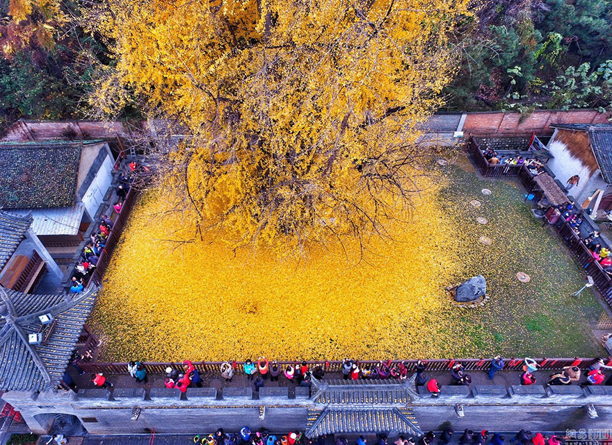 1400-old-ginkgo-tree-yellow-leaves-gu-guanyin-buddhist-temple-china (5)