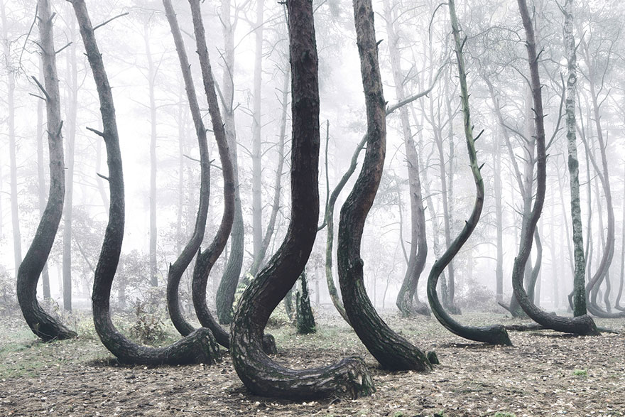 crooked-forest-mystery-for-scientists-las-kilian-schonberger-poland