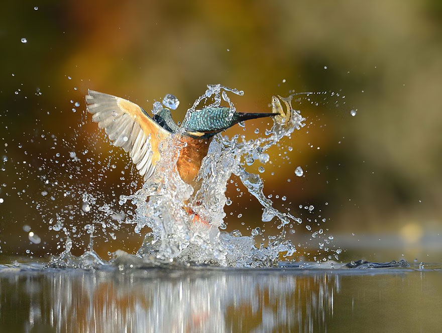 perfect-kingfisher-dive-photo-wildlife-photography-alan-mcfayden-after-6-years-and-720,000-attempts (3)