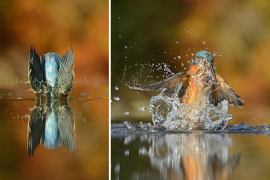 perfect-kingfisher-dive-photo-wildlife-photography-alan-mcfayden-after-6-years-and-720,000-attempts (5)
