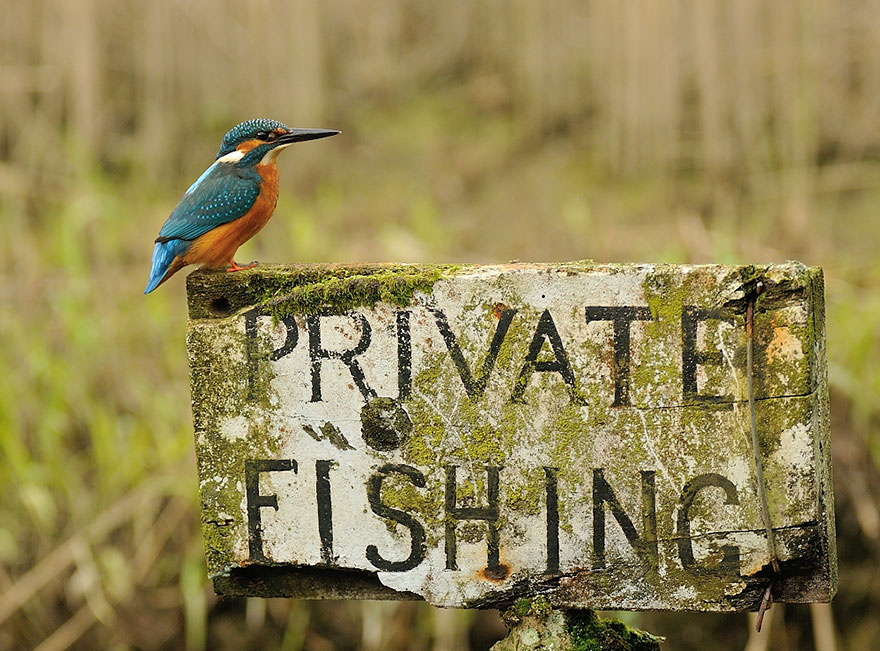perfect-kingfisher-dive-photo-wildlife-photography-alan-mcfayden-after-6-years-and-720,000-attempts (7)