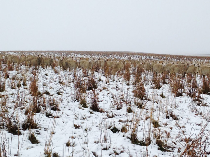 sheep-saskatchewan-field-farms-liezel-kennedy (4)