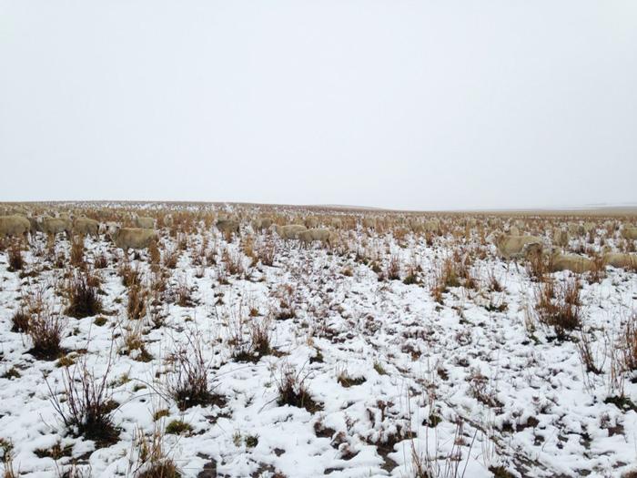 sheep-saskatchewan-field-farms-liezel-kennedy (5)