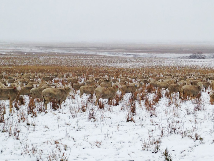 sheep-saskatchewan-field-farms-liezel-kennedy (6)