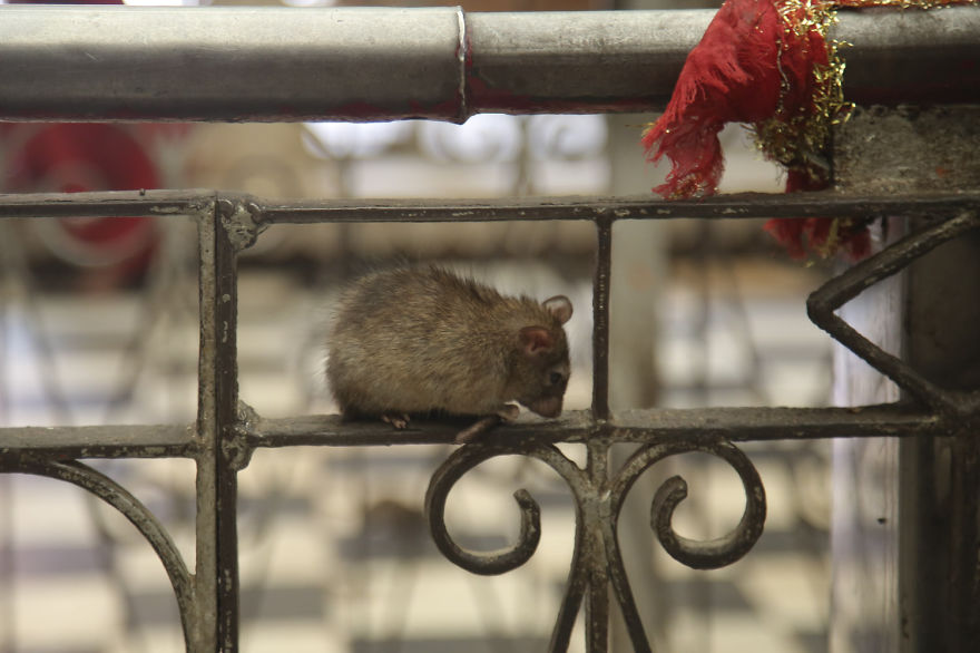 20,000-Holy-Rats-Temple-In-India (10)